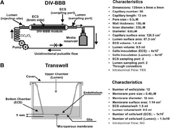 vitro BBB model
